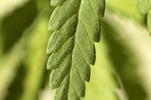 Macro aka Extreme Close up of a Cannabis Sativa Medical Marijuan