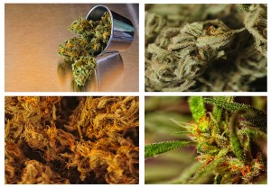 Beautiful collage or Collection of four strains of marijuana