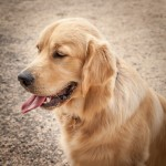 Golden Retriever Dog In Profile Sitting On A Path With Tongue Ou