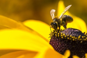 Close-up photo of a Western Honey Bee gathering nectar and spreading pollen on a young Autumn Sun Coneflower (Rudbeckia nitida). ** Note: Shallow depth of field ** Note: Visible grain at 100%, best at smaller sizes