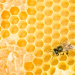 Working bee on yellow honey wax honeycomb
