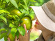 Limonene Information: Why We Love This Smell by Allan Frankel, M.D.