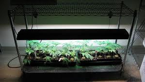Indoor Marijuana 1(1)