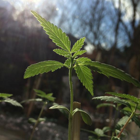 Medical Cannabis Education