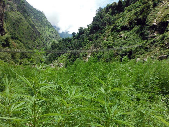 The Cannabis Fields of the Himalayas: How US and UN Policies Affect Deeply Rooted Cultural Practices
