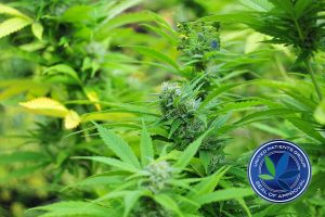 Illnesses Treatable With Medical Cannabis