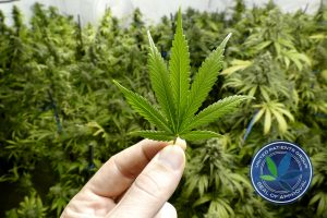 Hand Holding Small Marijuana Leaf with Indoor Cannabis Plants in