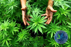 growing-cannabis