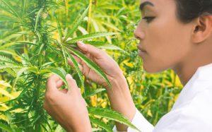 Wissenschaftlerin prft eine medizinische Hanfpflanze