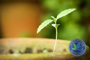 Cannabis indica or Marijuana plant in a clay pot