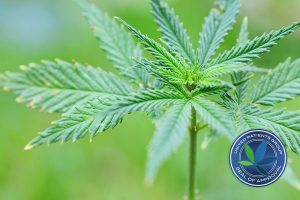THC-A and CBD-A: What are the Benefits?