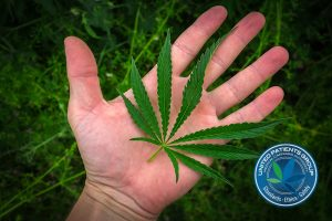 marijuana leaf on the palm. cannabis drug.