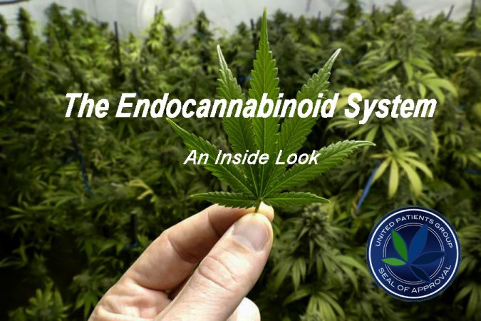 Endocannabinoid System Cannabinoid Cannabis Homeostasis United Patients Group UPG